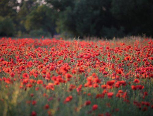 Blumenfeld voller rotem Mohn